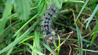 Lymantria dispar caterpillars move in forest.