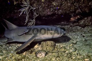 karibischer Ammenhai