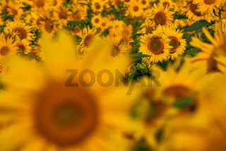 pretty yellow sunflowers in field
