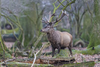 Rothirsch, Cervus elaphus, Red Deer