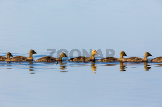 Greylag geese goslings swimming in a row in the lake