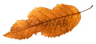 back side of broken leaf of ash tree isolated