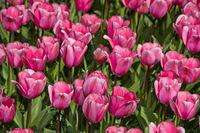 Rosa Darwin-HybrideTulpe Love Me Tender, Blumenschau Keukenhof, Lisse, Niederlande