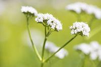 Baldrian Valeriana officinalis medicinal plant