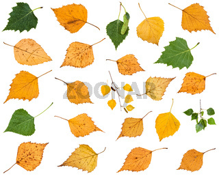 set of various leaves of birch trees isolated
