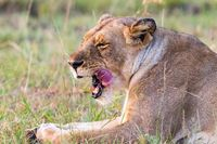 Lion licking her mouth after a meal