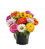 Colorful flowers in a flower pot