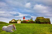 Sleek Icelandic horse