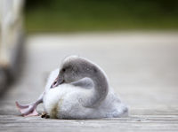 The baby bird of a swan on the mooring