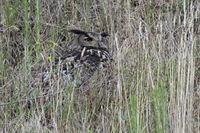 versteckt im hohen Gras... Europäischer Uhu *Bubo bubo* verschmilzt mit der Umgebung