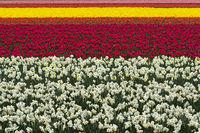 Anbau von Narzissen und Tulpen zur Produktion von Blumenzwiebeln in der Blumenzwiebelregion Bollenstreek