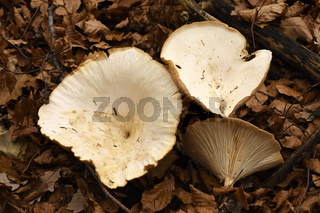 Riesentrichterling, Clitocybe maxima