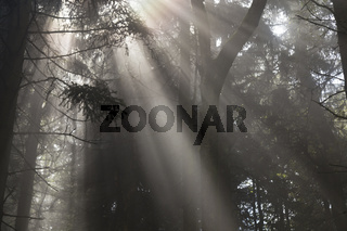 Sonnenstrahlen im Wald, sunbeam in a forest