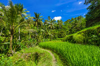 Rice fields - Bali island Indonesia
