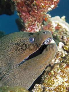 Riesenmuräne / Giant Moray