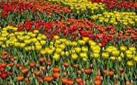 Blumenbeete mit gelben und roten holländische Tulpen