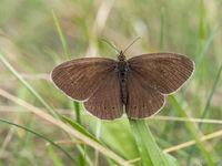 Brauner Waldvogel im Gras, Aphantopus hyperantus