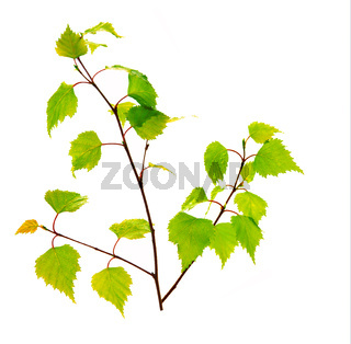 Birch leaves isolated on the white background.