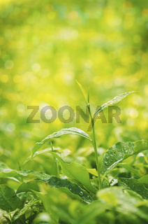 Tea plant close up