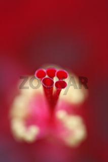 Hibiskus, roter, Bluetenstempel, Hibiscus syriacus, Rose of Sharon, red, gynoecium
