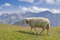 Schaf in den Hohen Tauern