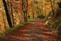 Gravel road leading trough a golden beech forest. Autumn scene.