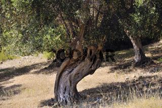 Alte Olivenbäume mit großen Wurzeln in der alten Ackerland der Maremma, Nähe von Varese, Toskana