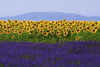 Sonnenblumen und Lavendel auf der Hochebene von Valensole, Provence, France