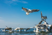 Seagulls fighting for bread pieces