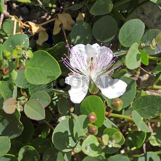 Blüte und Knospen vom Echten Kapernstrauch, Capparis spinosa