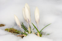 White crocus flowers in the snow