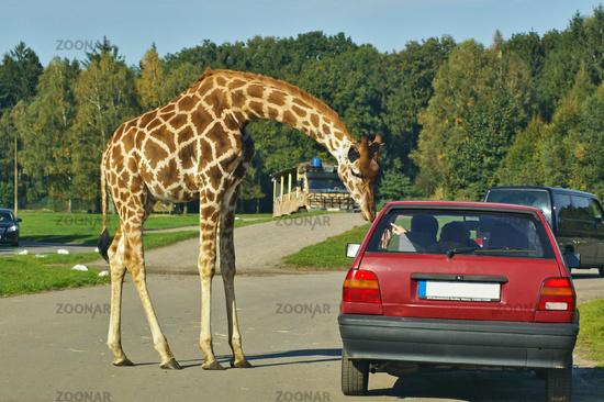 Giraffe beugt sich zu einem Autofahrer hinunter