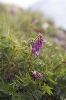 Alpen Süßklee, hedysarum hedysaroides
