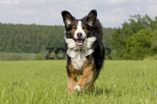 Berner Sennenhund Mix, Mountain dog halfbreed
