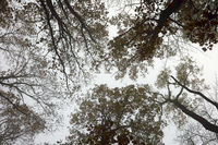 abstract view of oak forest canopy in misty morning