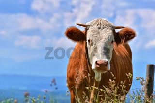Kuh auf Weide  -  Bayern