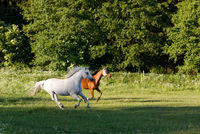 horses running in spring pasture meadow