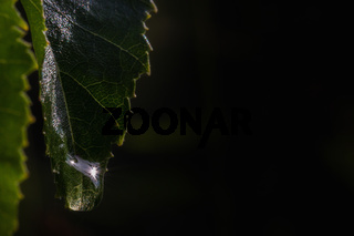 Leaf with drops and dark background