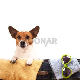 Jack Russel Terrier travelling