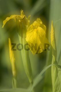 Wasser-Schwertlilie, Sumpf-Lilie, Iris pseudacorus, Yellow flag