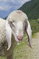Weißes Lamm im Gebirge