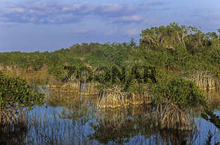 Rote Mangroven in den Everglades / Everglades Nationalpark  -  Florida