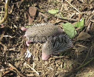 Hedgehog. The prickly mammal is a hedgehog.