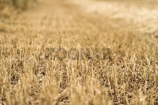 abgeerntetes Getreidefeld