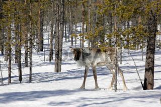 Finnisch Lappland - Junges Rentier in freier Natur