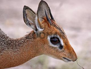 Damara Dik Dik, Madoqua damarensis, Namibia