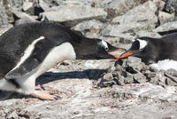 male Gentoo penguin which lays down the stone in the nest where the female is sitting