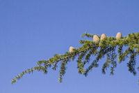 Ast eines Zedernbaumes