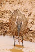 Hammerkopf fängt Frosch, Kruger NP, Südafrika, Hamerkop catching a frog, South Africa, Scopus umbretta
