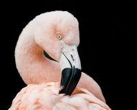 Chilean Flamingo V